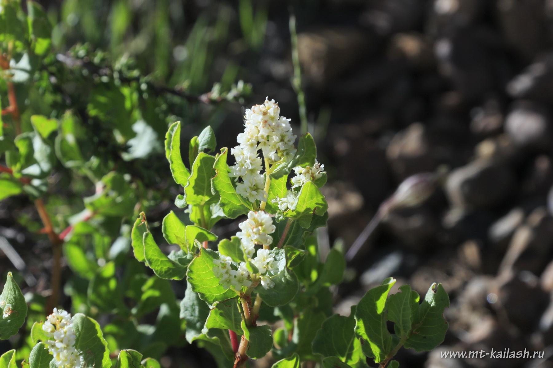 aconogonon-tortuosum-var-glabrifolium