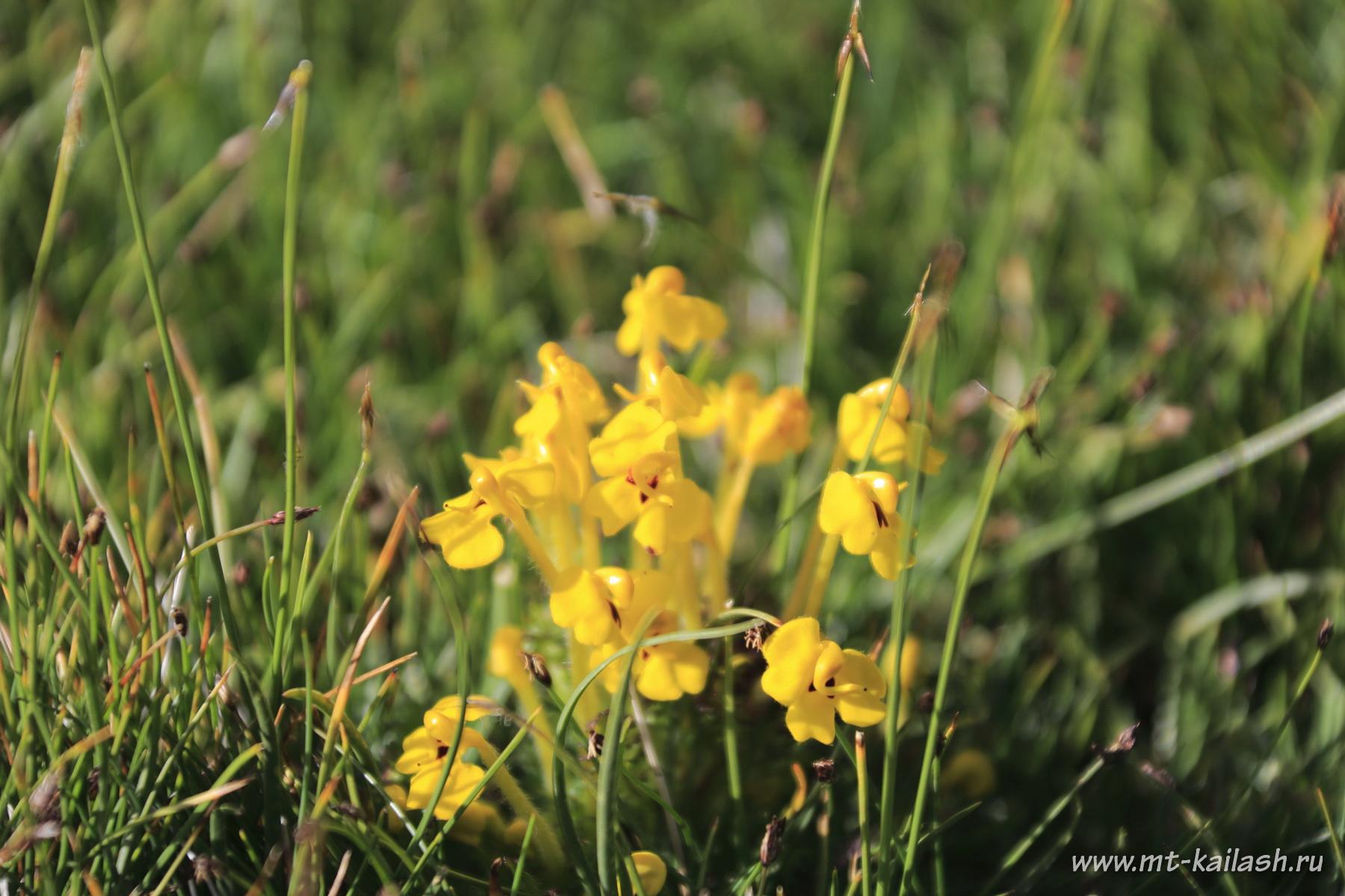 pedicularis-longidlora-var-tubiformis