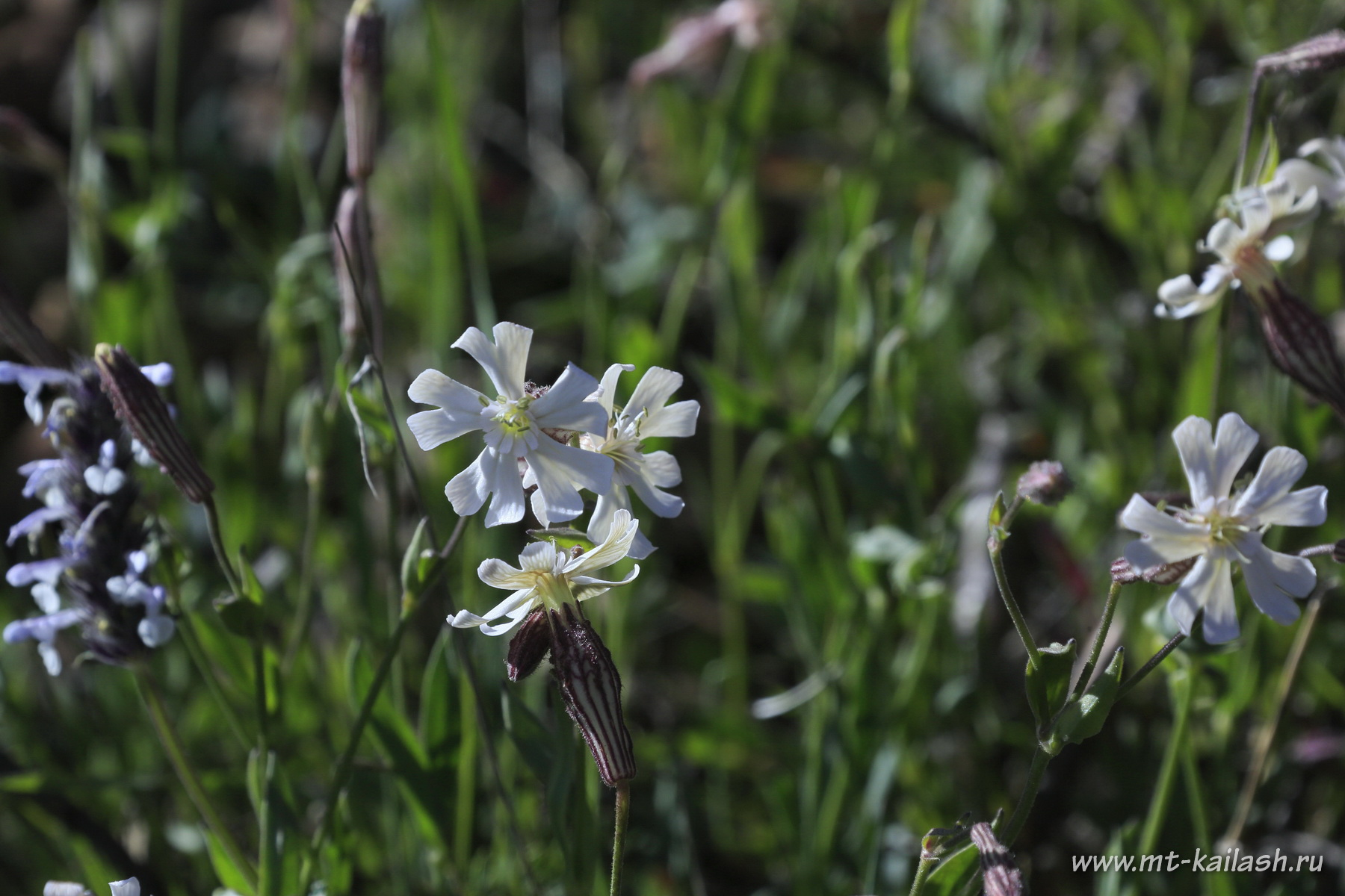 silene-nigrescens