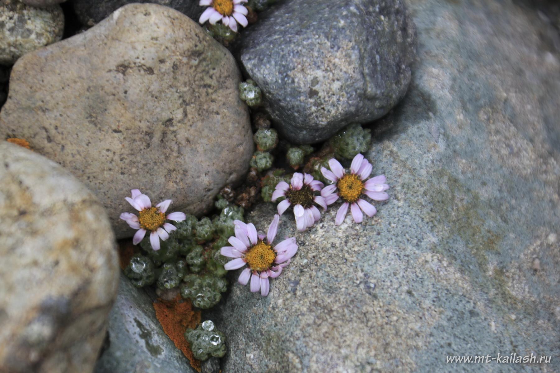 waldheimia-glabra-po-vidimomu